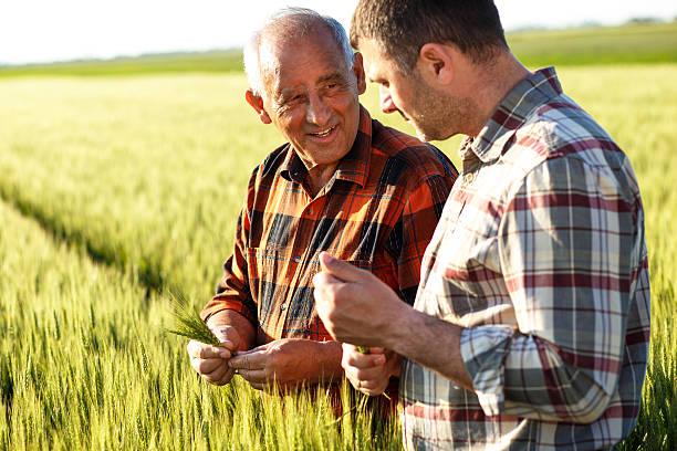 Senior agricultor en un campo de examinar cultivo - foto de stock