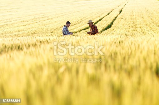 Two farmers in a field examining wheat crop.