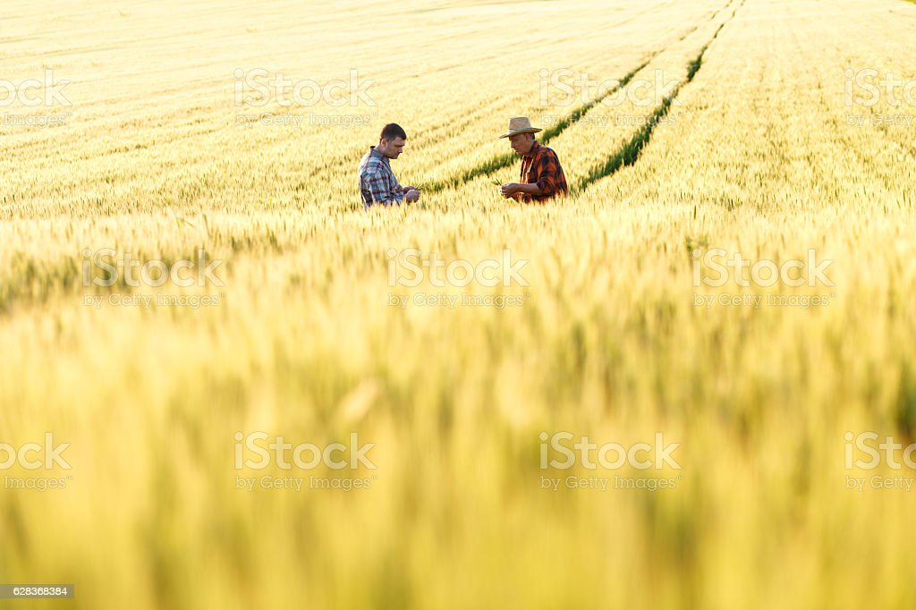 Senior farmer in a field examining crop​​​ foto