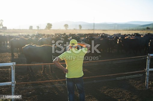 Senior farmer standing outdoor and looking his group of buffalo animals at sunset light,  the animals graze in enclosures controlled by electric shepherd.