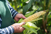 Senior farmer inspecting corn cob