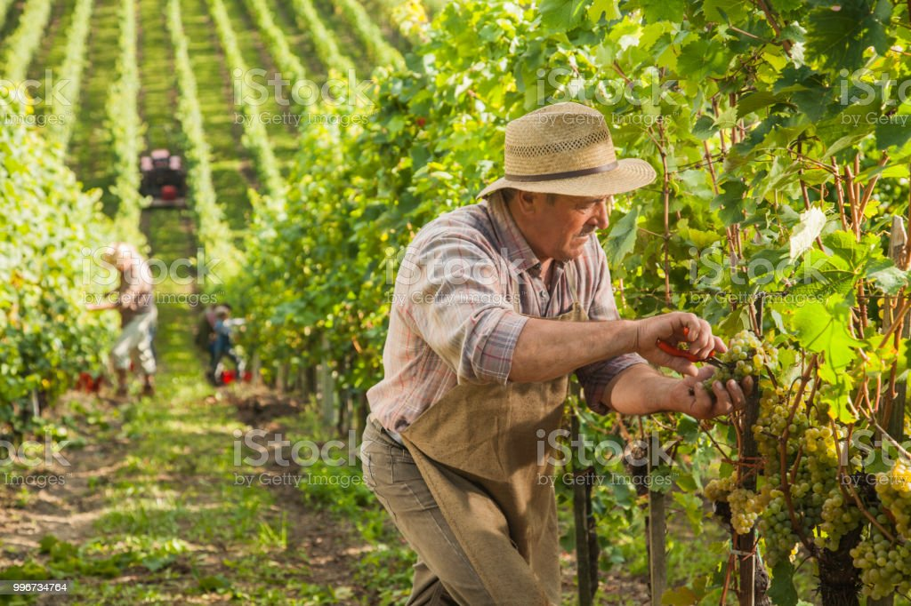 Senior farmer inspecting the grapes for harvest stock photo