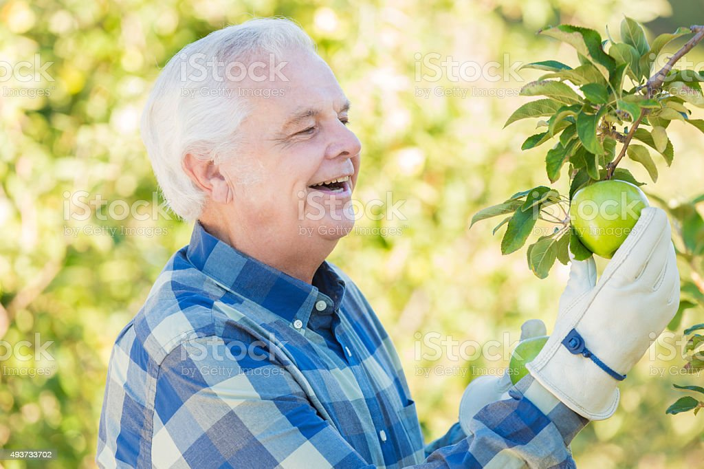 Senior farmer picking apples in beautiful fruit orchard stock photo