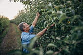 One senior farmer picking apples in the orchard