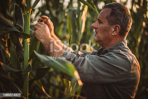 One senior farmer standing in corn field, picking corn.