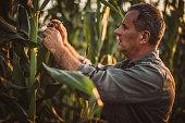One senior farmer standing in corn field, picking corn.