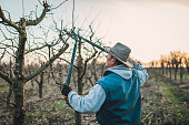One man, senior man pruning fruit trees in his orchard in winter.