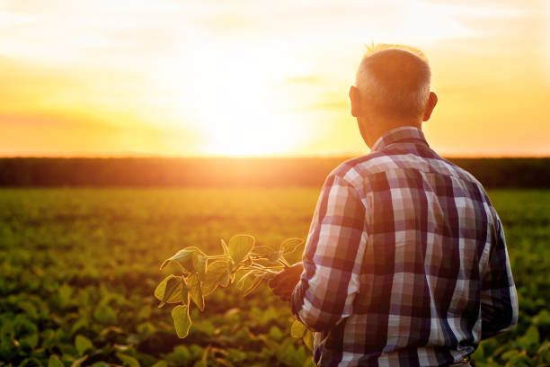 Senior farmer standing in soybean field examining crop at sunset. Senior farmer standing in soybean field examining crop at sunset. only senior men stock pictures, royalty-free photos & images