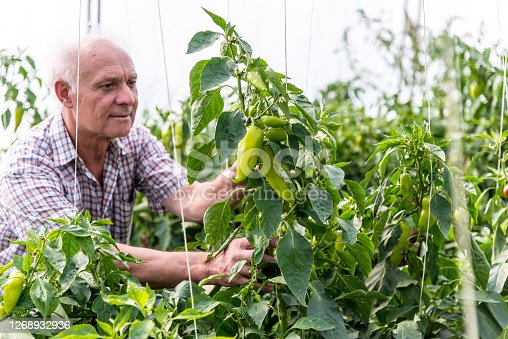 A senior farmer takes care of his pepper plantations