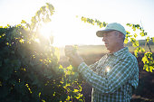 Senior farmer tastes the taste of the grape crop.