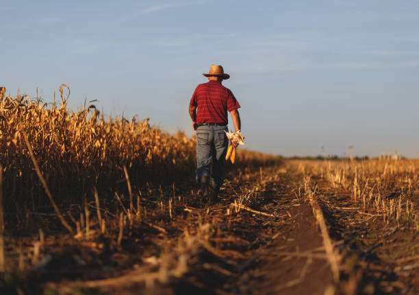 Senior farmer walking in corn field Rear view of senior farmer walking in corn field and examining crop before harvesting. farm worker stock pictures, royalty-free photos & images