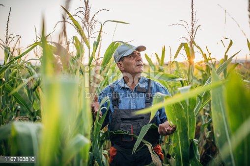 Senior farmer walking in his corn filed