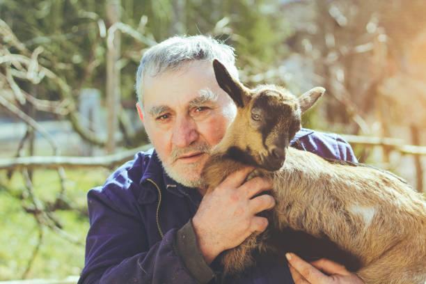 senior bauer mit zicklein - ziegenhof stock-fotos und bilder