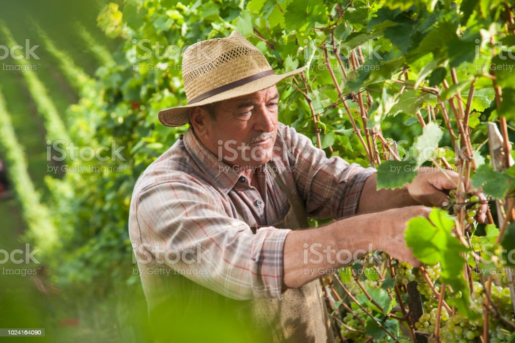 Senior farmer working in vineyard stock photo