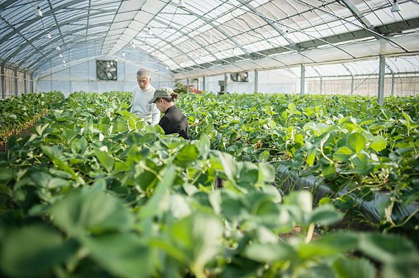 シニア農家動作の温室 - sustainability ストックフォトと画像