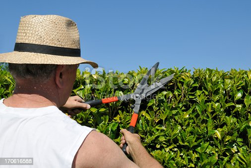 Rear view of a senior  gardener with straw hat,  cutting the leaves of the laurel hedge with hedge scissors  in spring.