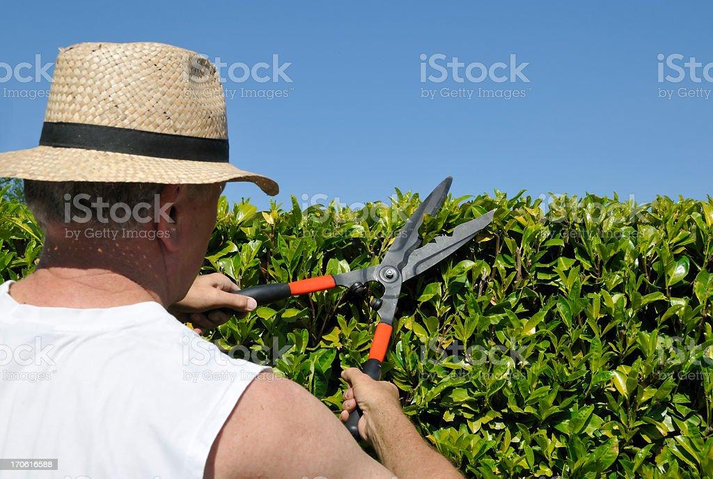Senior gardener cutting  laurel hedge in spring with hedge scissors stock photo