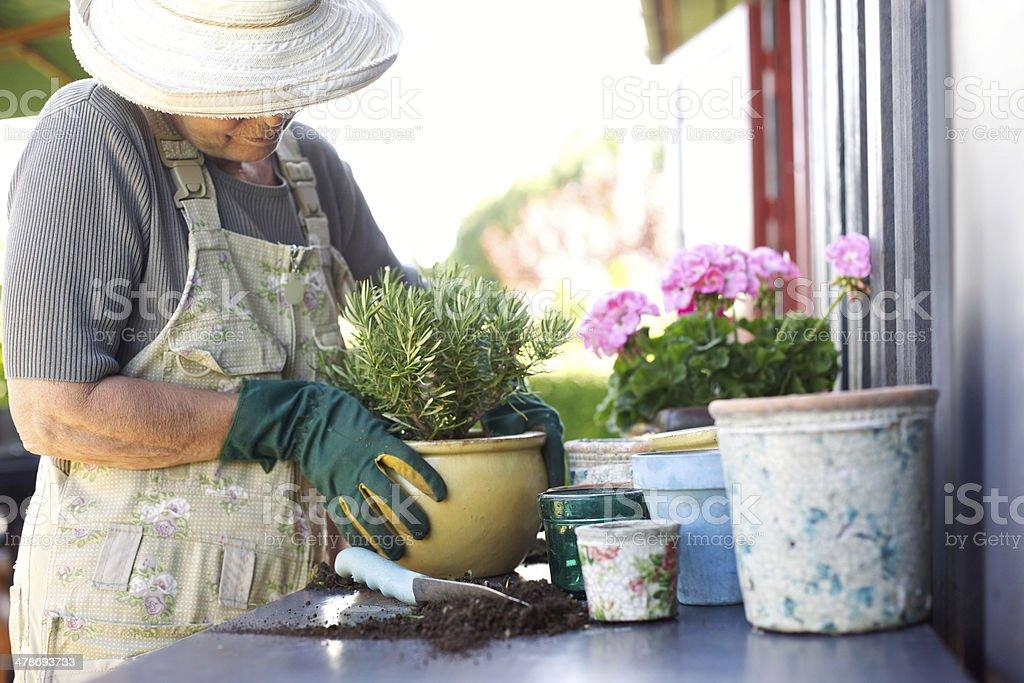 Senior gardener potting young plants in pots stock photo