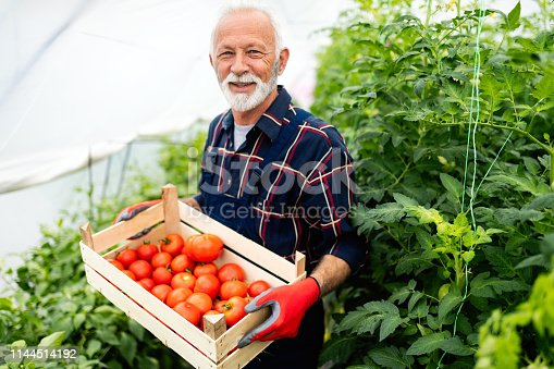 Mature gardener with a basket of harvested vegetables in the garden
