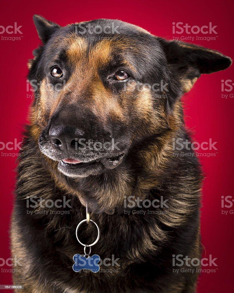 Senior German Shepherd with Smirk royalty-free stock photo