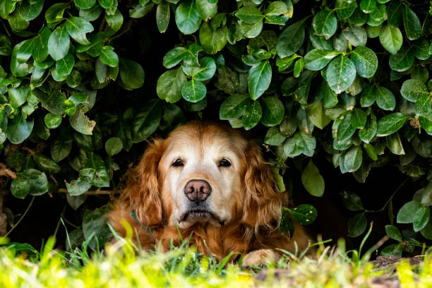 Senior Golden Retriever looking out from the shade of a bush on hot Summer day stock photo