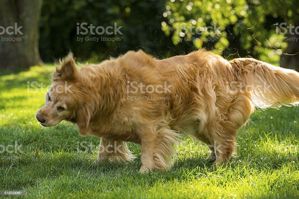 Senior Golden Retriever Shaking stock photo