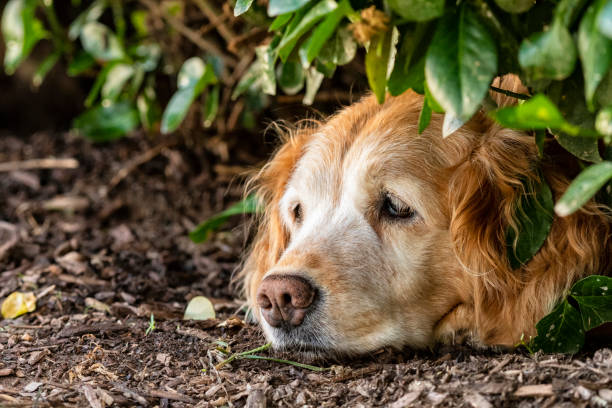 Senior Golden Retriever staying cool in the shade of a bush on hot Summer day stock photo