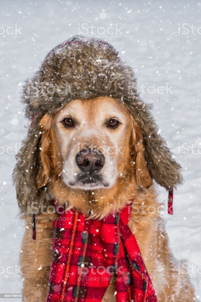 A senior Golden Retriever wearing hat and scarf in the snow stock photo