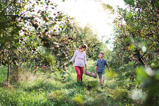 Senior grandmother with grandson carrying wooden box with apples in orchard.