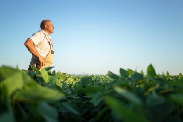 senior fleißiger landwirt agronom in sojabohnenfeld in der ferne suchen. ökologische lebensmittelproduktion und -anbau. - bauernberuf stock-fotos und bilder