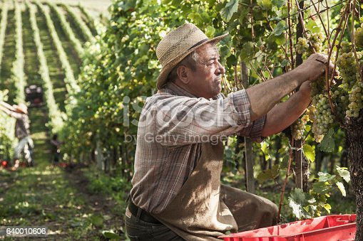 540524550 istock photo Senior Harvesting Grapes in the late sun 640010606