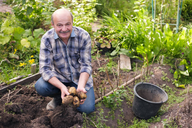 Senior hispanic man digs in kitchen garden potatos. Senior hispanic man digs in kitchen garden potatos. he is showing potato harvest. russian dacha stock pictures, royalty-free photos & images