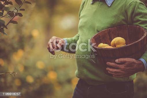 Midsection shot of a senior holding a wicker basket with quince