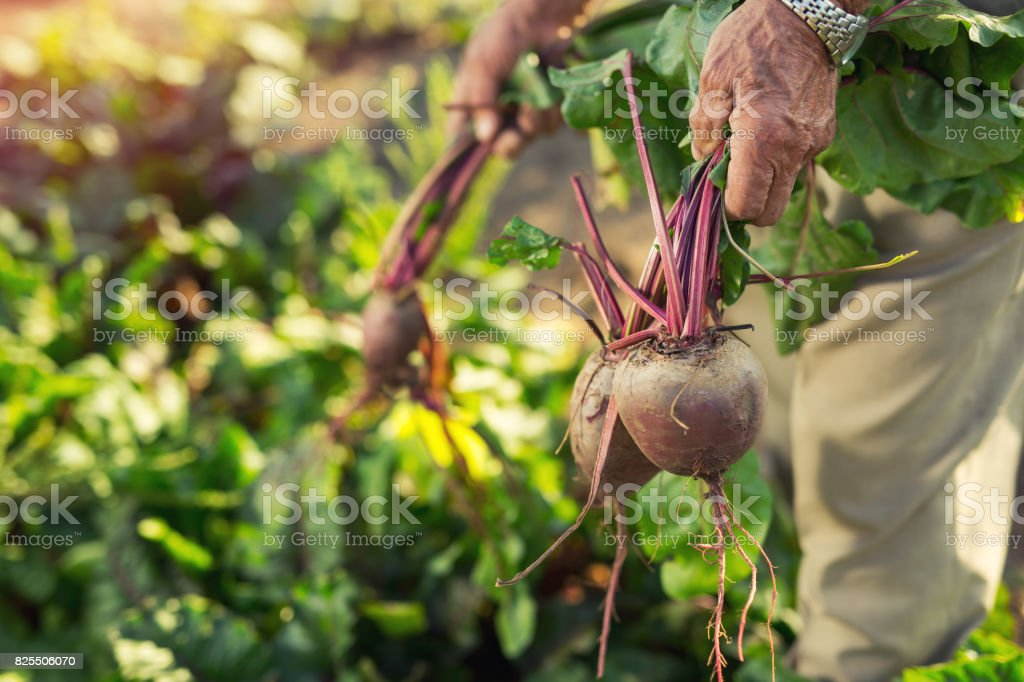 Senior holds a bunch of beet, close up stock photo
