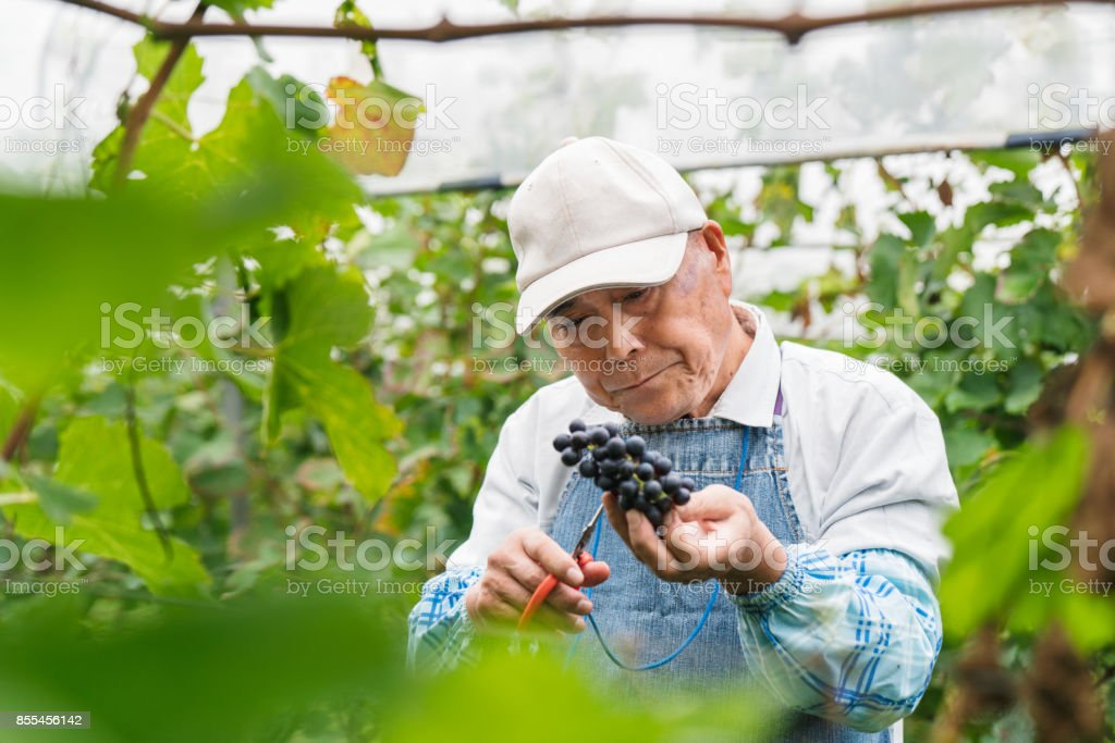 Senior Japanese man working in a vineyard collecting grapes stock photo
