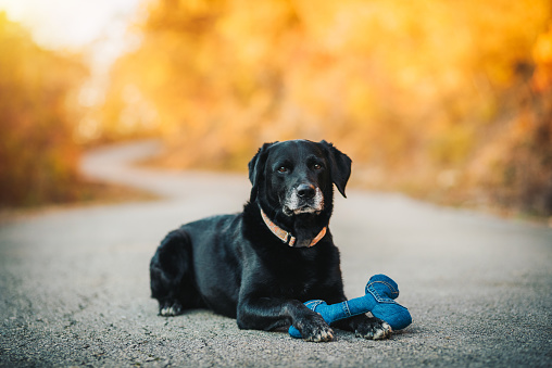 Senior labrador retriever dog sitting on the road with his toy. Pets concept.