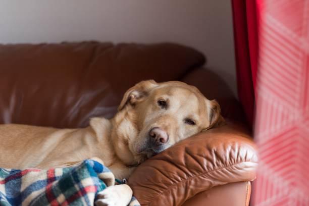 Senior Labrador retriever dog resting on the couch stock photo