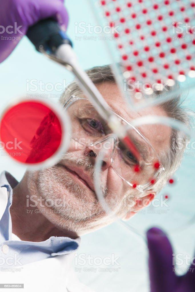 Senior life science researcher grafting Bakterien. Lizenzfreies stock-foto