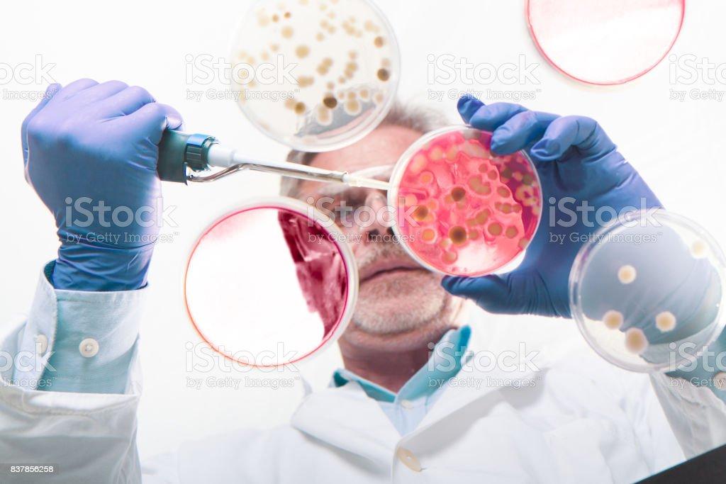 Senior life science researcher grafting bacteria. stock photo