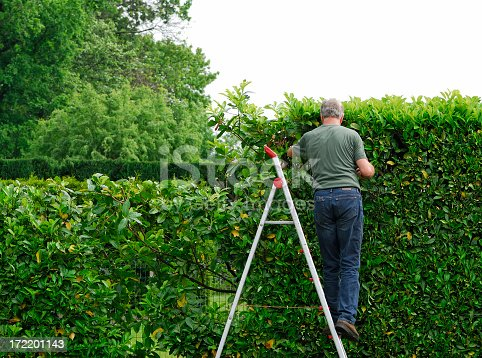 Man standing on a ladder and cutting the Cherry laurel hedge in springtime.