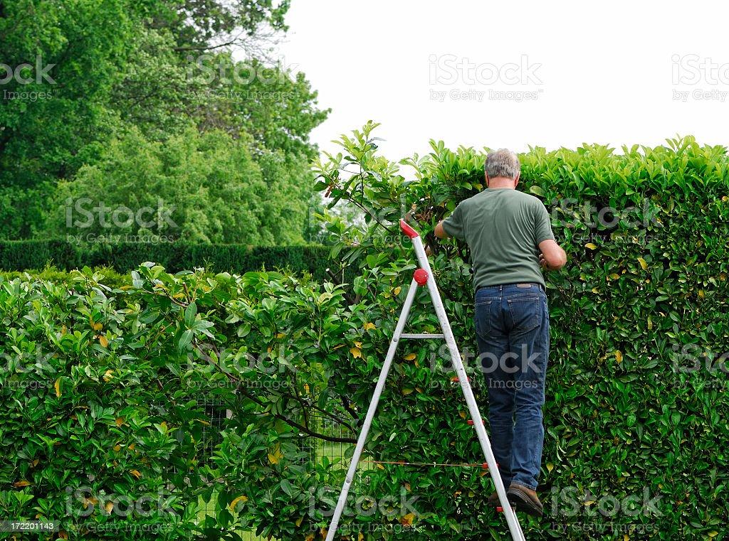 Senior man cutting  laurel hedge in springtime stock photo