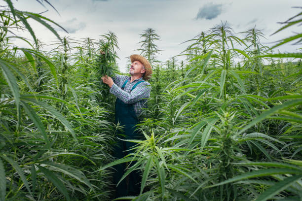 Senior Man Examining Growth Process In Hemp Field.
