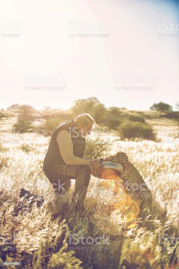 A senior Man feeding and touching a Cheetah in the wild zbiór zdjęć royalty-free