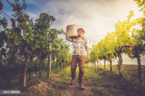 Senior Man Grapes Harvesting and Picking Up in the Vineyard; Europe.