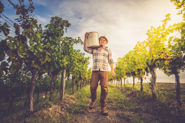 senior man grapes harvesting and picking up - pensionati lavoratori foto e immagini stock
