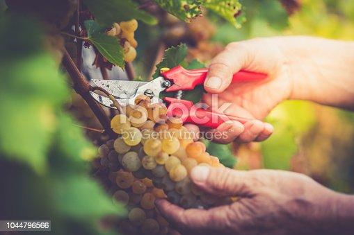 Senior Man Grapes Harvesting and Picking Up in the Vineyard; Europe.
