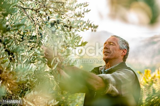Senior man handpicking ripe olives from olive tree