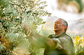 Senior man handpicking ripe olives from olive tree
