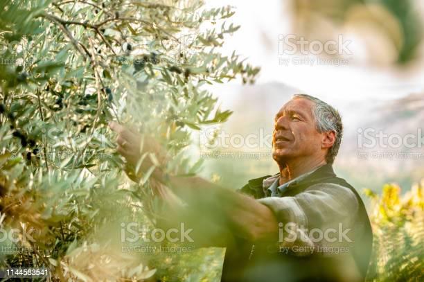 Senior man handpicking ripe olives from olive tree picture id1144583541?b=1&k=6&m=1144583541&s=612x612&h=cwzhfrevecdmtytensmvagky86qi acvo9anccwuyl8=