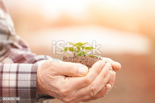 621615390istockphoto Senior man hands holding new growth plant 900636748